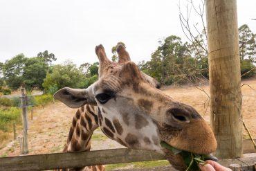 Orana Wildlife Park - Hand Feed A Giraffe