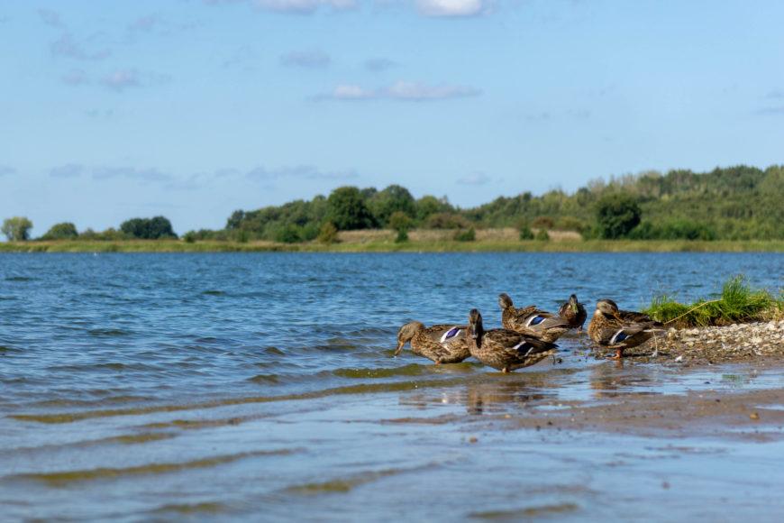 Enten am Achterwasser beim Fischpalast Neppermin
